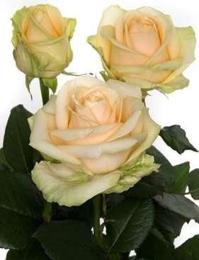 Саженцы роз и гибискуса
