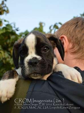 Немецкого боксера щенки в г. Киев Фото 3