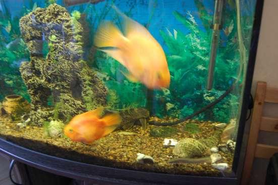 Продам аквариумных рыбок в Санкт-Петербурге Фото 1