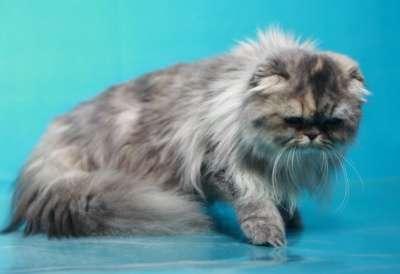 Кошечка - хайленд фолд в Хабаровске Фото 1