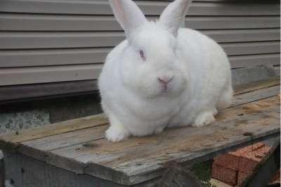 Продажа кроликов элитных пород