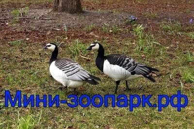 Казарки в Москве Фото 1