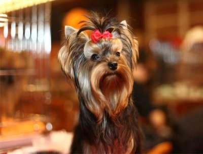 Йоркширский терьер. Супер-мини щенки в Москве Фото 4